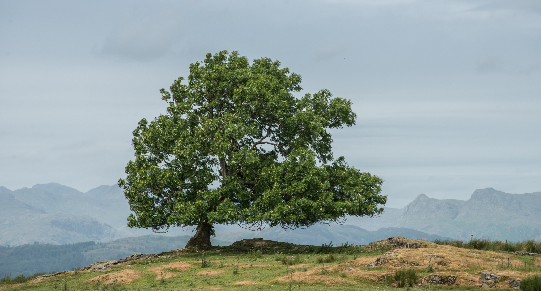 Old ash tree beside the Dales Way, with a view west towards the central Lake District.