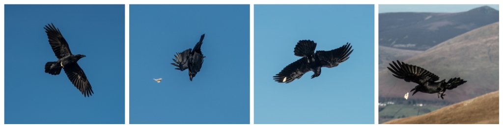 Raven in flight, playing catch the bread