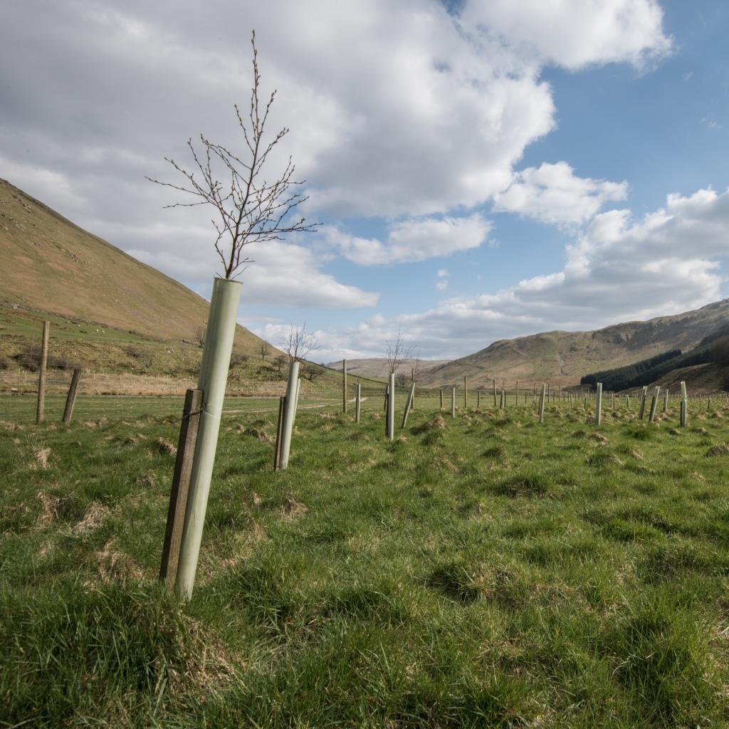 New tree planting in Borrowdale, near Shap.