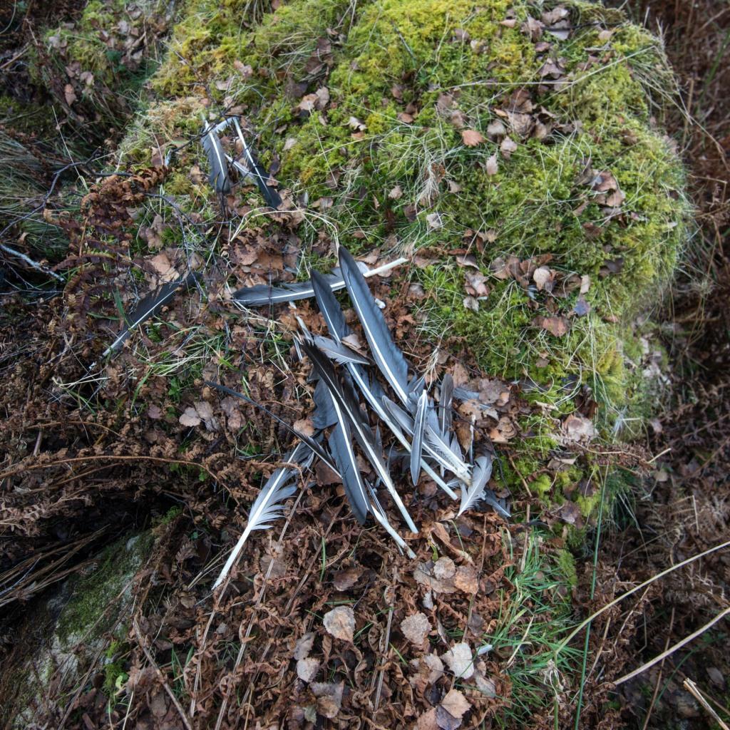 remains of a peregrine kill