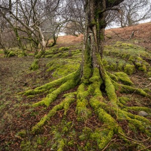 Mossy birch roots