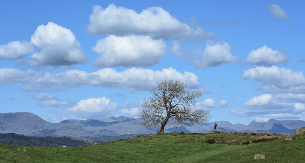 Lone ash on the Dales Way, just above Windermere.