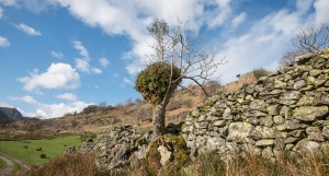 An old pollarded ash holds a few other trees as well as ferns, bilberry and heather in its thatch