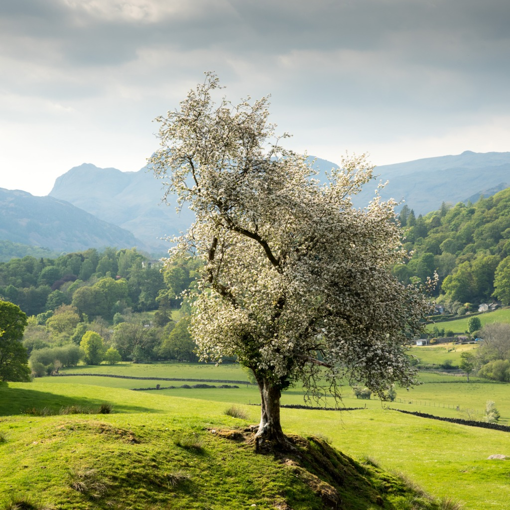 Hawthorn in blossom near Skelwith Fold, Langdale