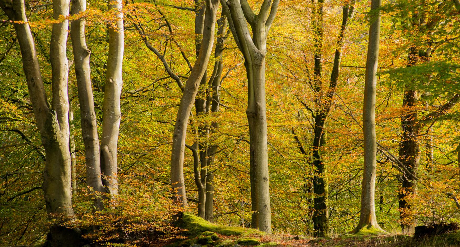 Penny Rock woods near Grasmere in Autumn