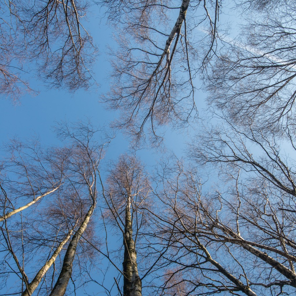 Looking up into birch trees Birk Fell