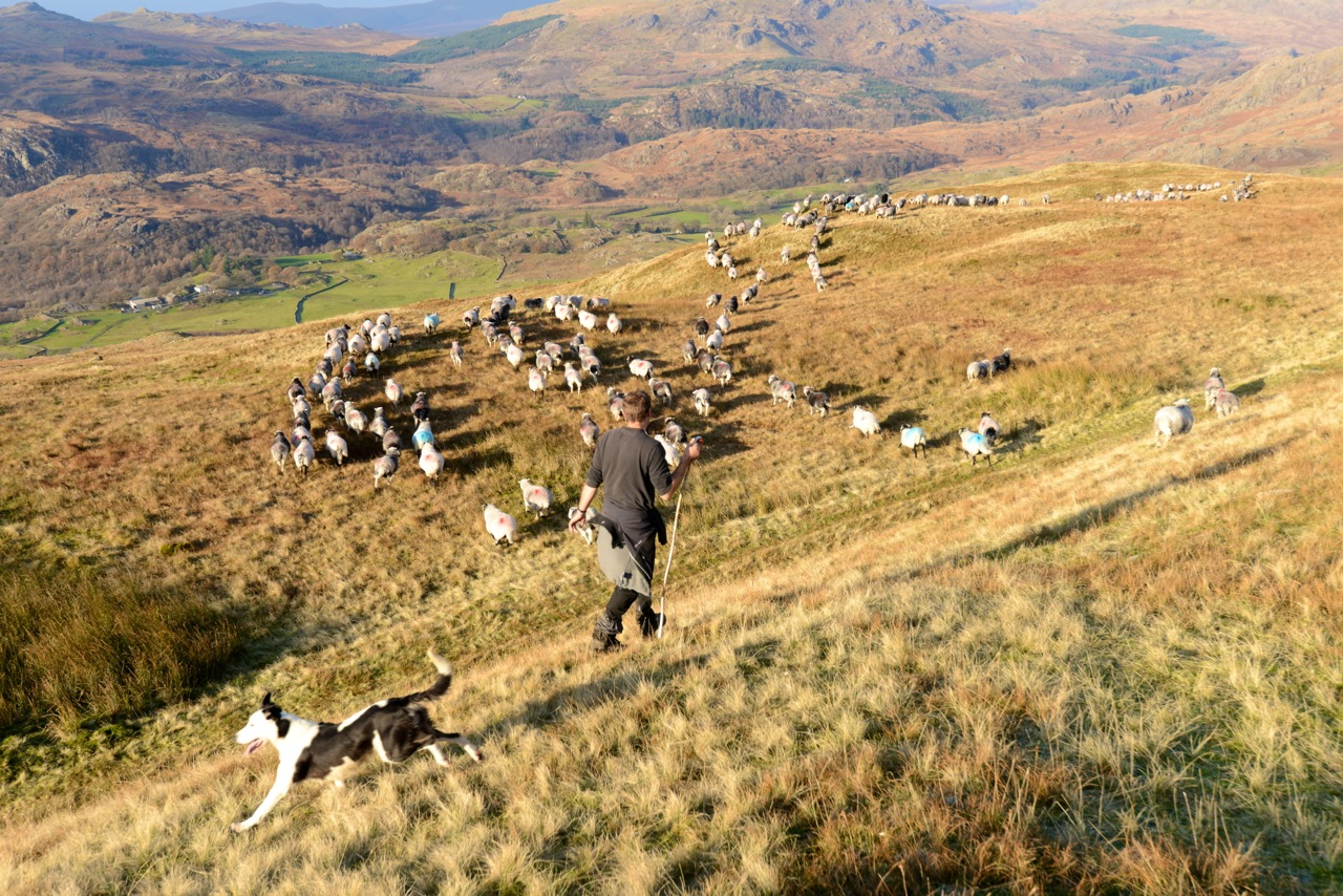 Gathering in off the Consiton Fells