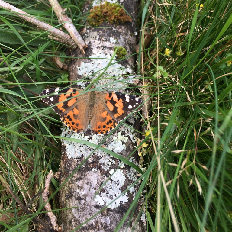 Painted Lady butterfly, Wasdale