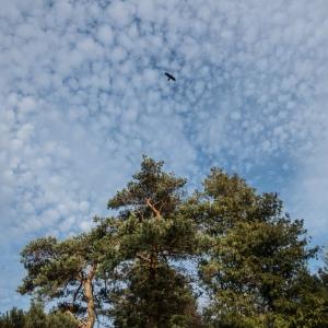 Raven above Scots Pines