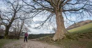 Sycamore on the path at the base of Hallin Fell