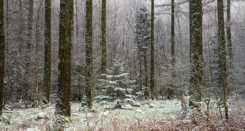 winter trees Ennerdale