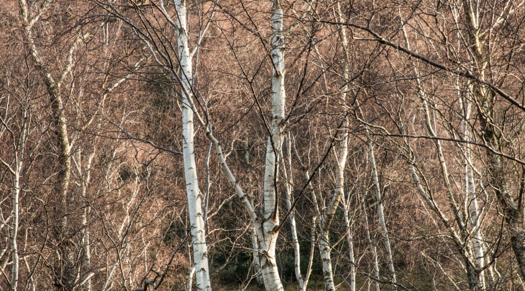 Birch woods on the shore of Ullswater below Place Fell