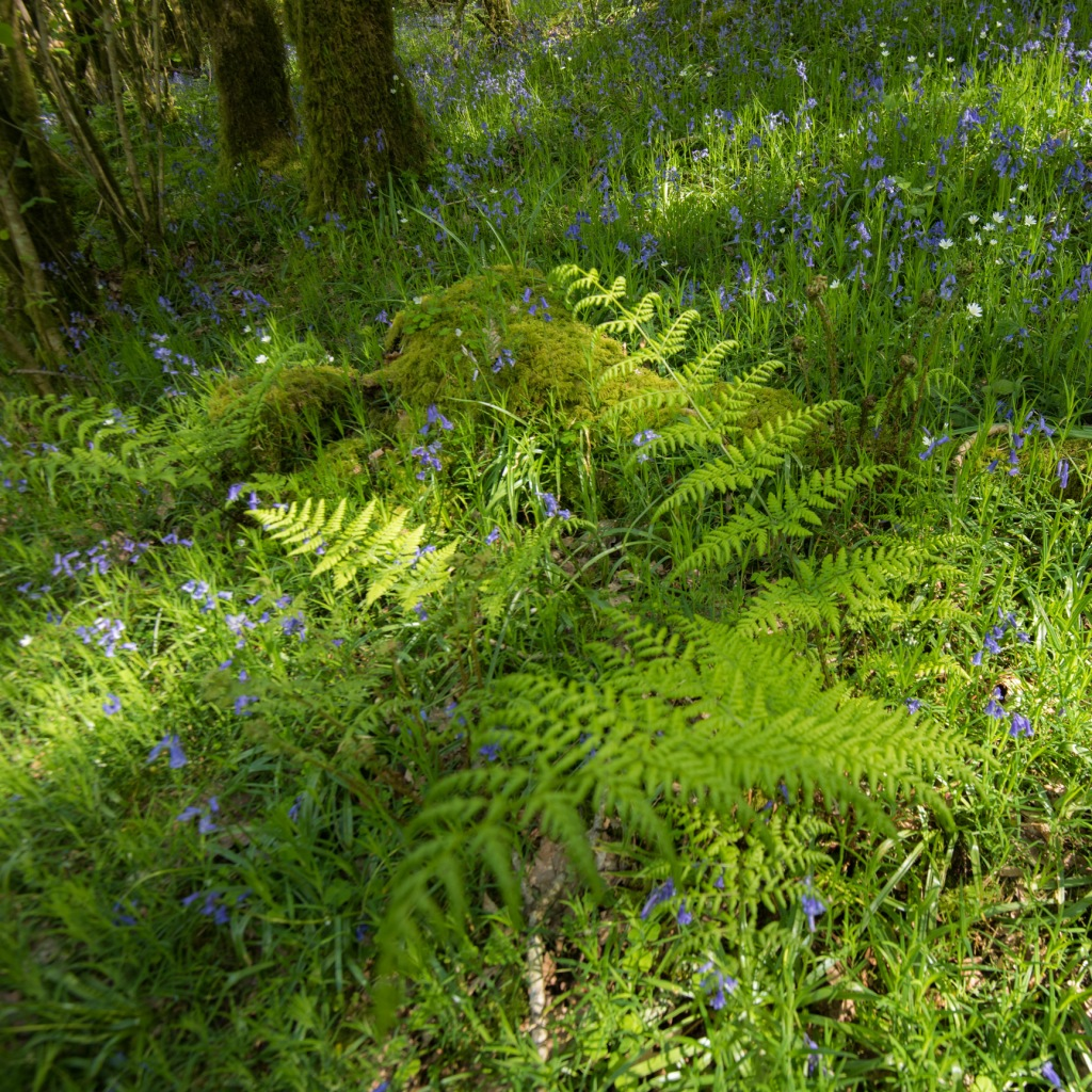 Woodland fern with a carpet of bluebells and field mouse-ear.