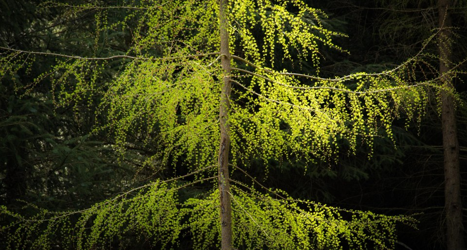 Larch in fresh leaf at the beginning of spring, Haweswater