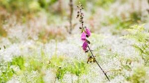 Ragged foxglove in a sea of mist-wet grasses.