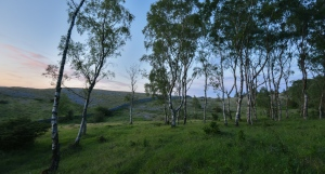 Last light on a birch stand coming off Whitbarrow