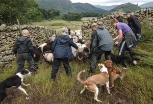 Bland family gathering herdwick ewes into Thirlemere Valley in 2013