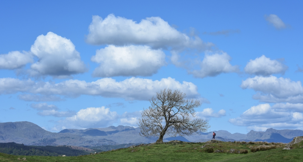 Lone ash on the Dales Way above Bowness