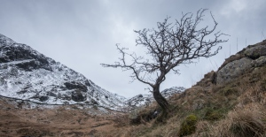 Hawthorn on the path above Haweswater