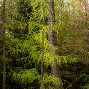 Spring larch at Whinlatter Forest
